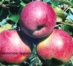 Яблоня июльское черненко — особенности сорта
