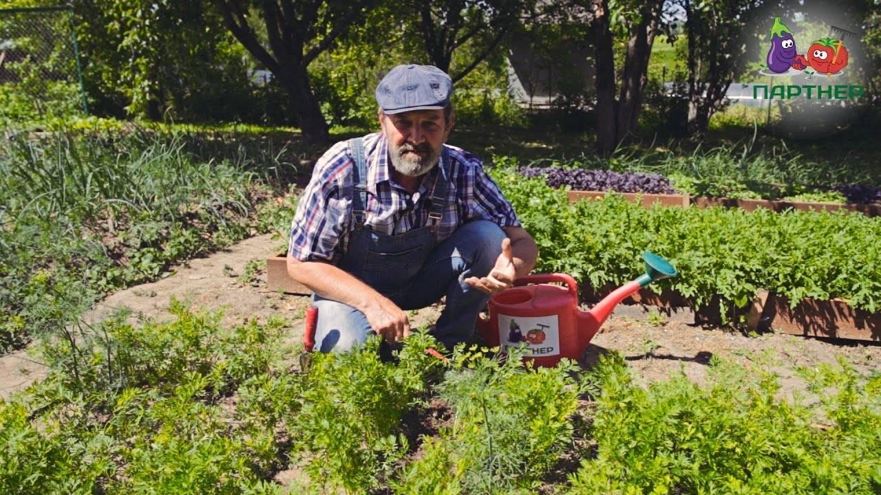 Выращивание моркови в открытом грунте: как сажать и не прореживать, секреты + видео