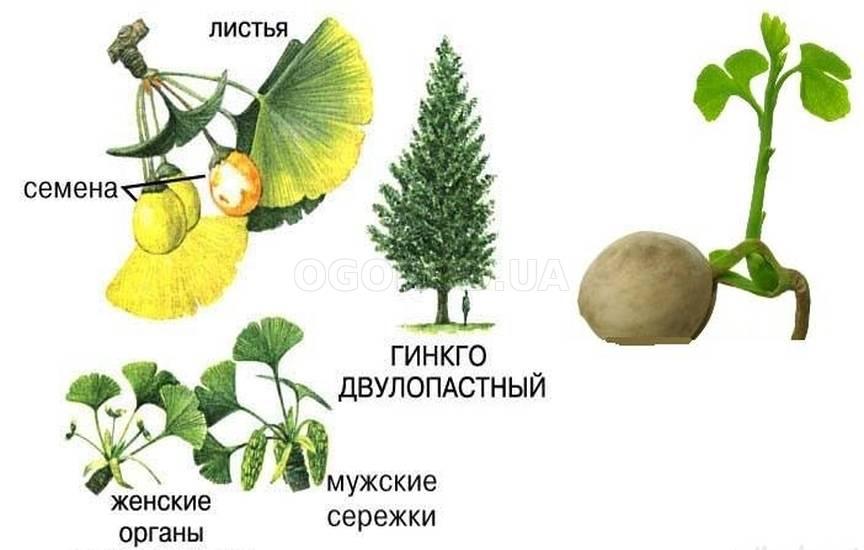 Гинкго билоба (ginkgo biloba) - инструкция по применению настойки