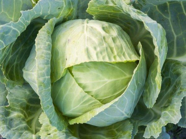 Семена капуста б/к f1 харрикейн : описание сорта, фото. купить с доставкой или почтой россии.