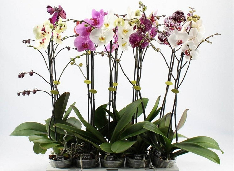 Щитовка на орхидее: как избавиться и как бороться с вредителем, фото и видео по теме