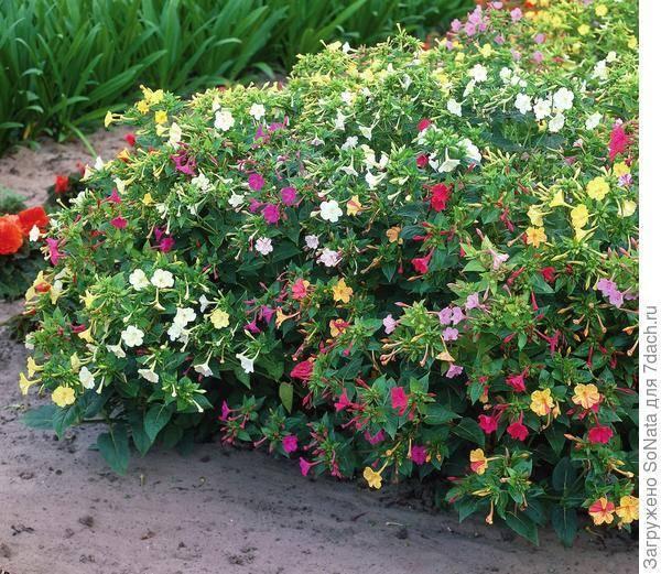Цветы мирабилисы - выращивание и уход. 3 способа посадки. фото цветов