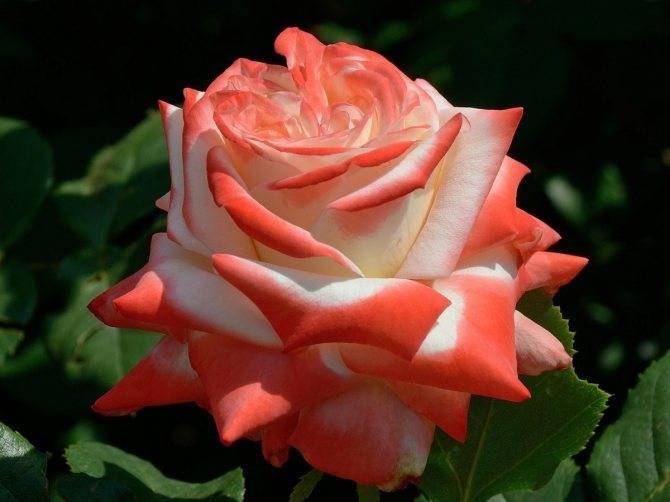 Чем подкормить розы в июне, в середине лета и осенью?