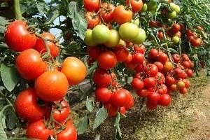Томат благовест f1: отзывы, фото, урожайность, характеристика