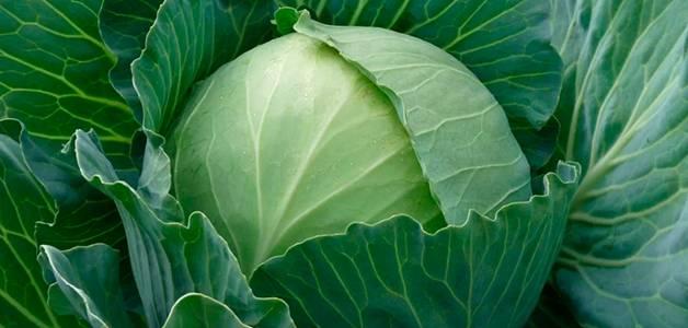 Квашеная капуста – калорийность, польза и вред при похудении