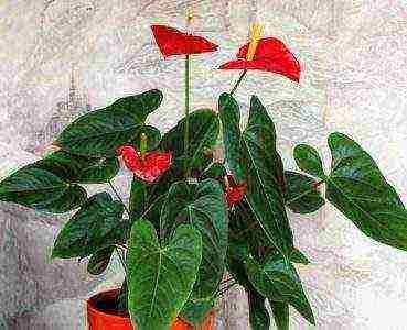 Мужской цветок антуриум фото, уход и приметы