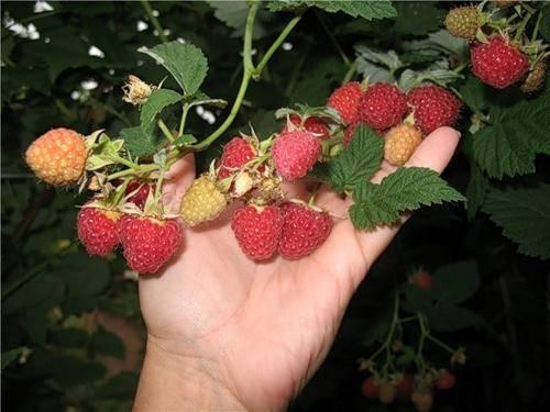 Описание сорта малины Бальзам — рекомендации по выращиванию