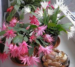 Цветущие красивые комнатные цветы (с фото)