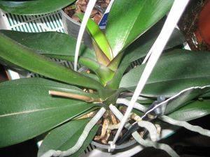 Болезни орхидей и их лечение: причины, как лечить, профилактика болезней, фото