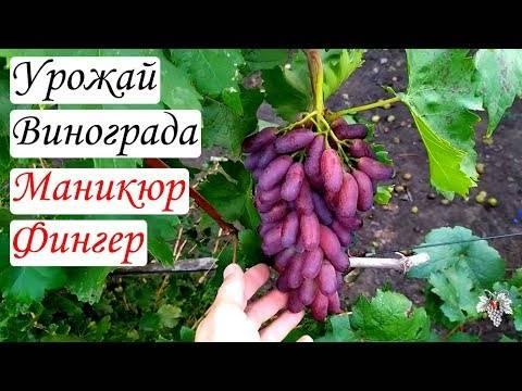 Виноград «маникюр фингер» описание особенностей сорта, уход, выращивание и отзывы