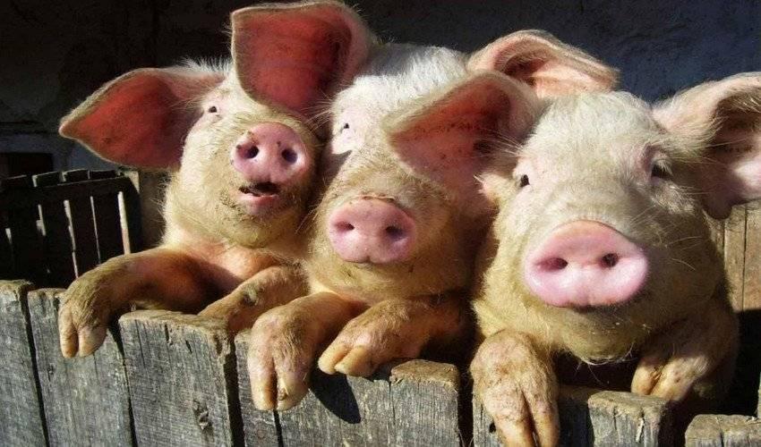 Основы свиноводства в домашних условиях: выбор породы и техника кормления, содержание и кормление свиней