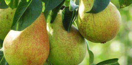 Требовательный сорт груши завея с полезными плодами
