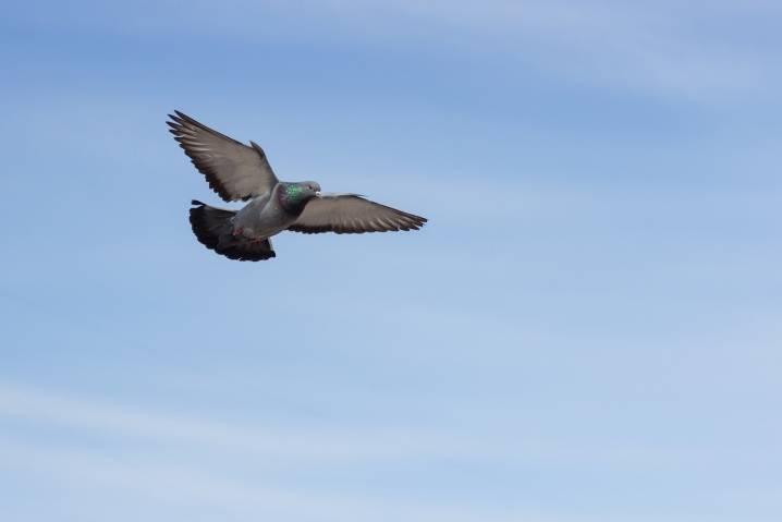 Вся правда о почтовых голубях   русская семерка