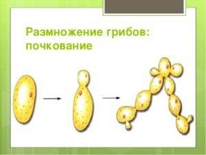 Все о размножении грибов