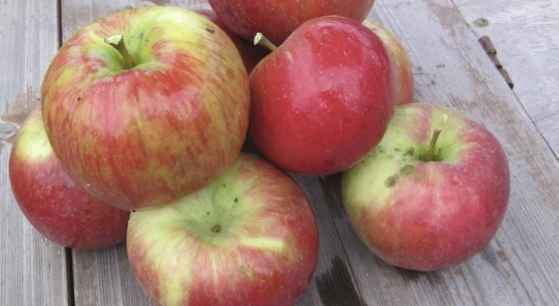 Сорт яблони хани крисп: фото, отзывы, описание, характеристики.