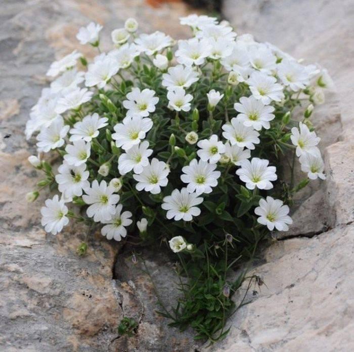 Ясколка: как вырастить многолетний лечебный цветок