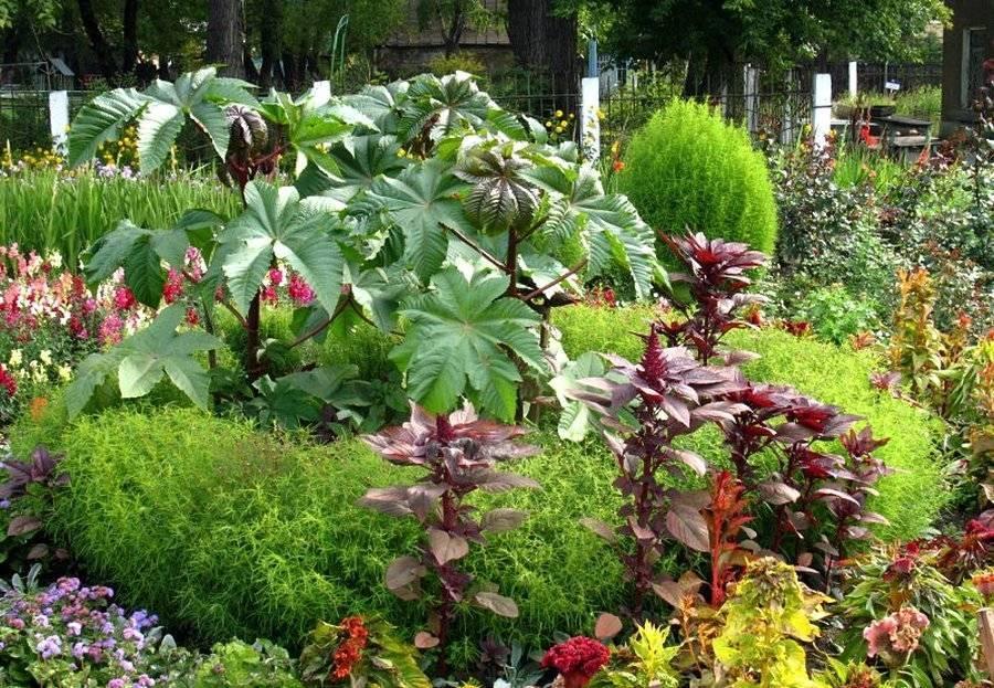 Клещевина: сорта и особенности выращивания