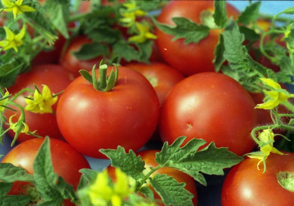 Томат белый налив: характеристика и описание сорта, отзывы, выращивание