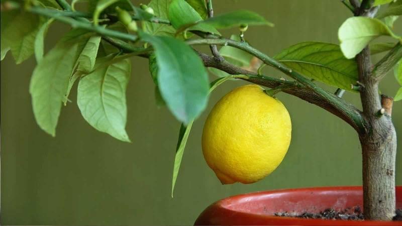 Обрезка лимона в домашних условиях, правильный уход обрезка лимона в домашних условиях, правильный уход