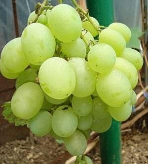Виноград алекса, описание сорта, фото