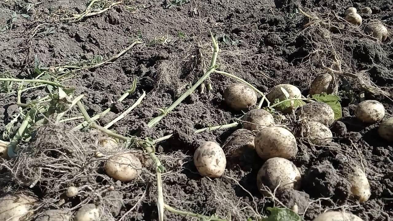 Картофель уладар: описание и характеристика сорта, особенности агротехники, фото