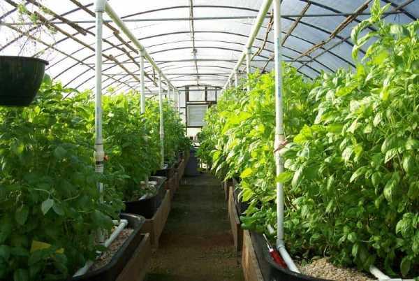 Как правильно поливать помидоры в теплице из поликарбоната