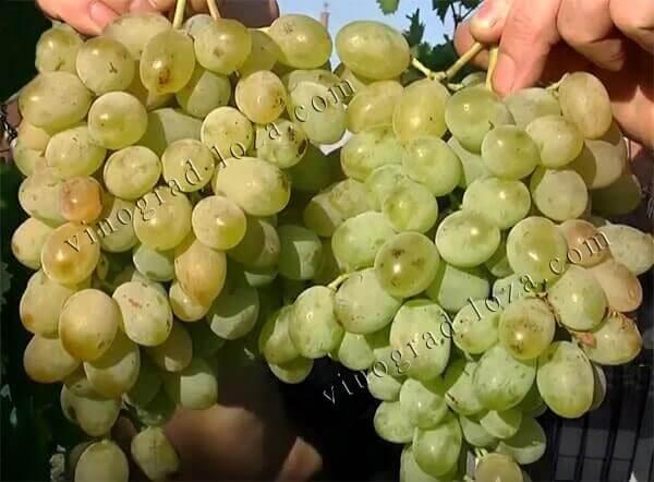 Виноград ланселот - описание и характеристика гибридного сорта с фото и отзывами