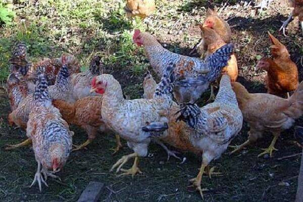 Царскосельская порода кур: описание, отзывы, фото