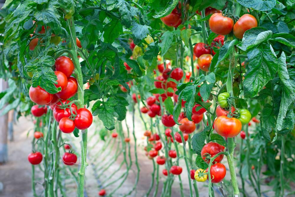 Выращивание помидоров в открытом грунте. подвязка томатов