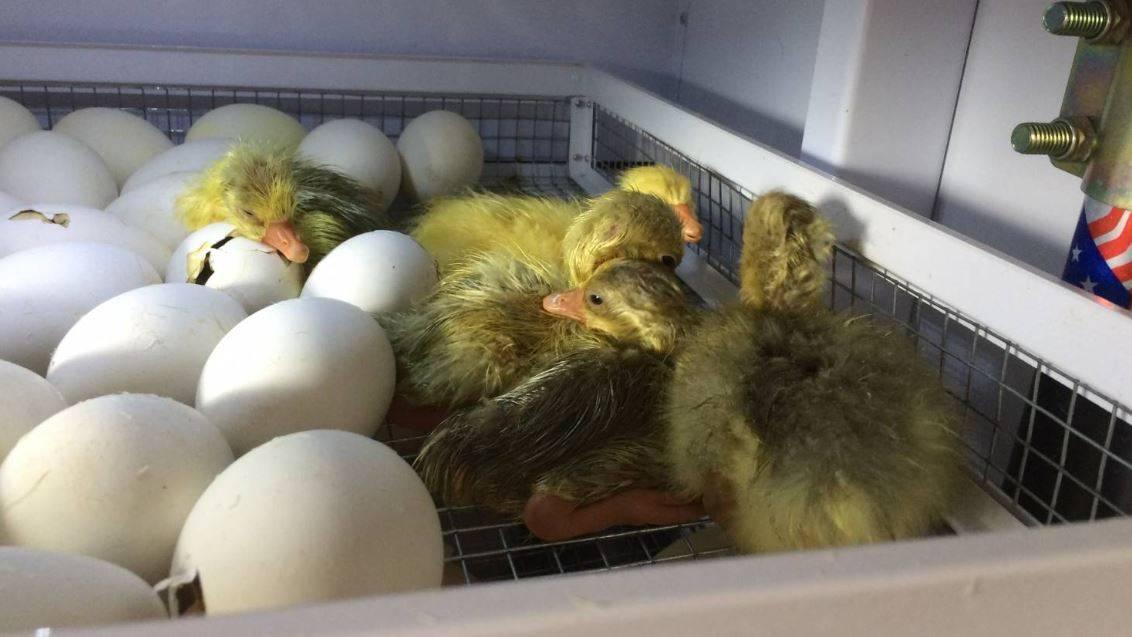 Инкубация яиц мускусной утки: мой опыт