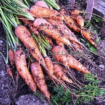 Когда убирать морковь с грядки на хранение в 2020 году: сроки, как хранить
