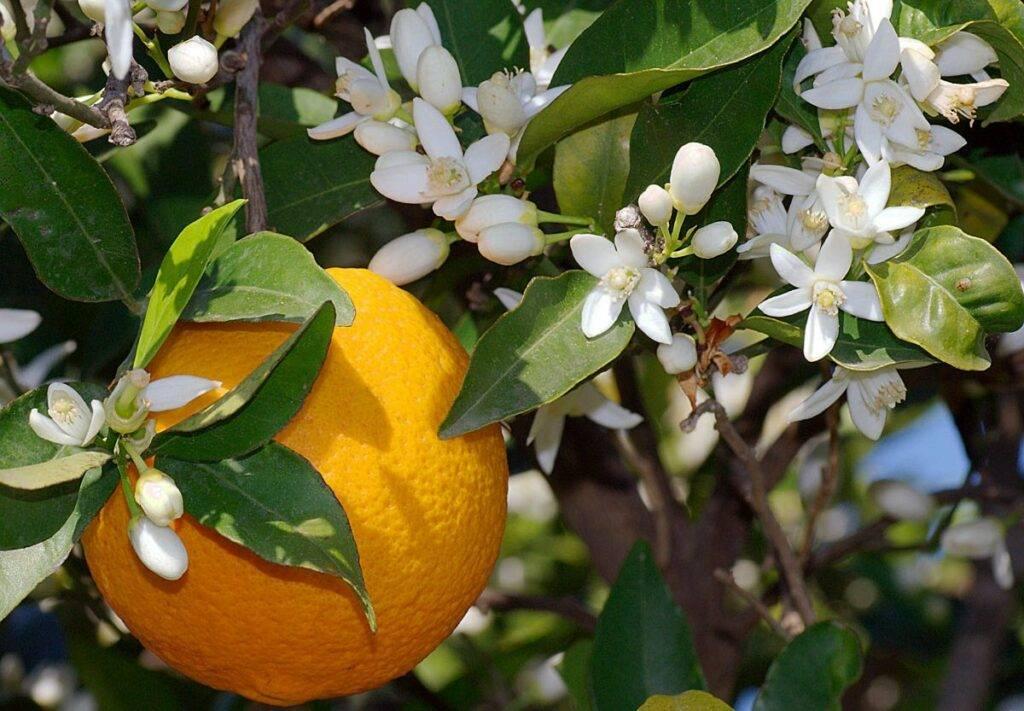 """Выращивание цитрусовых в домашних условиях - """"цветоводство"""" :: читать на сайте leplants.ru"""