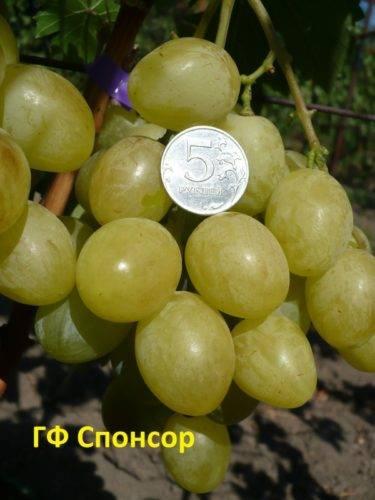 Как выращивать виноград спонсор - агро журнал dachnye-fei.ru