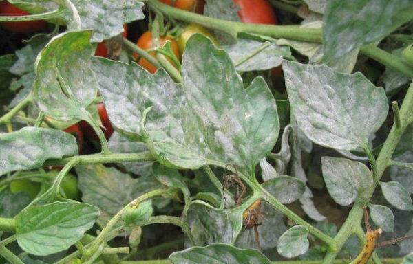 Почему сохнут и желтеют листья у помидоров в теплице: причины, заболевания, вредители