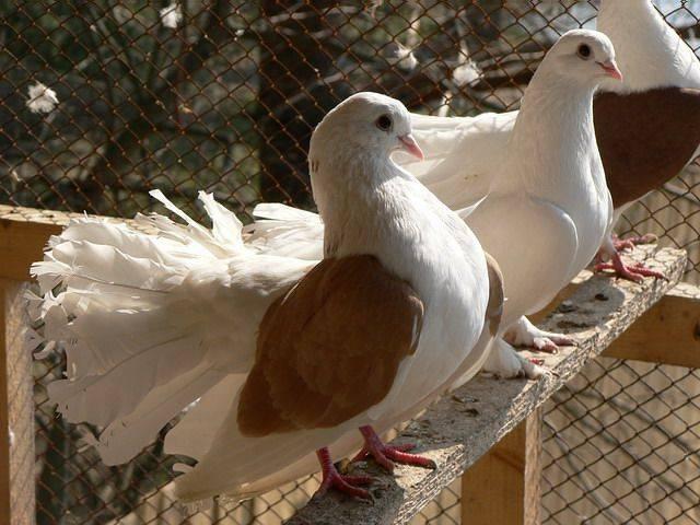 ✅ как поймать голубя: 7 простых способов - tehnoyug.com