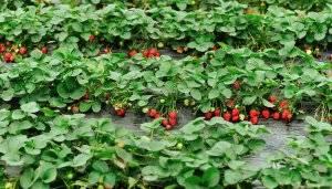 Выращивание клубники из семян в домашних условиях: советы с фото