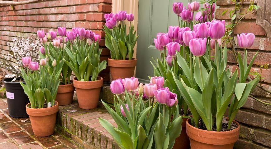 Посадка тюльпанов осенью: когда высаживать в сибири? время осенней высадки в подмосковье. как правильно посадить в открытый грунт на зиму?
