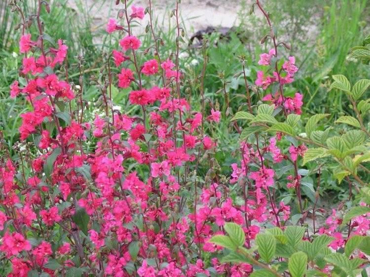 Цветы кларкия: посадка и уход в открытом грунте, виды и сорта с фото