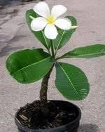 Плюмерия (plumeria). уход, период покоя, размножение в домашних условиях.