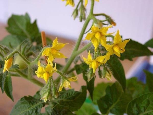 Помидоры в теплице цветут, но не завязываются что делать видео
