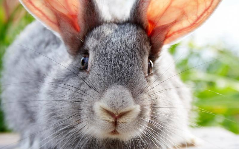Как подготовить крольчиху к родам
