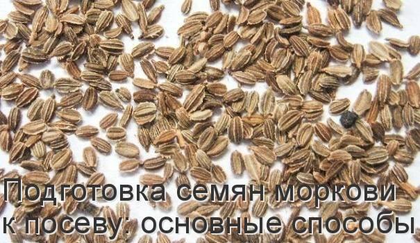 Как быстро прорастить семена моркови перед посадкой: за сколько времени проводить процедуру, как правильно и какие есть способы посева? русский фермер