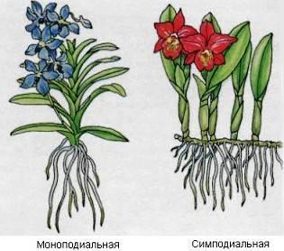 Можно ли из корня орхидеи вырастить орхидею, какой для этого нужен кусочек и как его посадить: фото и видео от специалистов