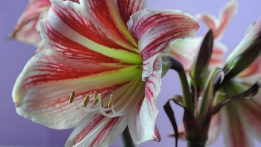 Амариллис: цветение, уход в домашних условиях + фото