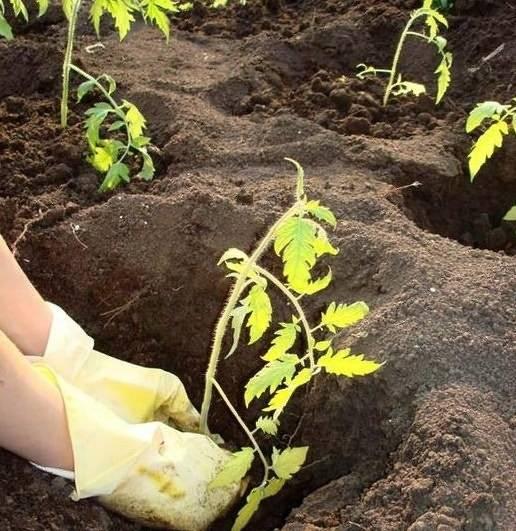Правильная посадка помидоров в теплице > схема высадки + подробные видео + фото