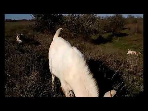 Объясняем, почему коза не ест и не пьет