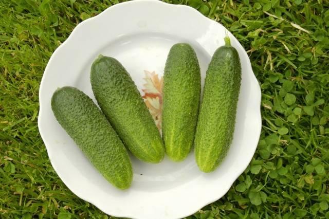 Огурец «клавдия»: описание характеристик сорта f1. посадка, уход, урожайность и выращивание из семян (фото)