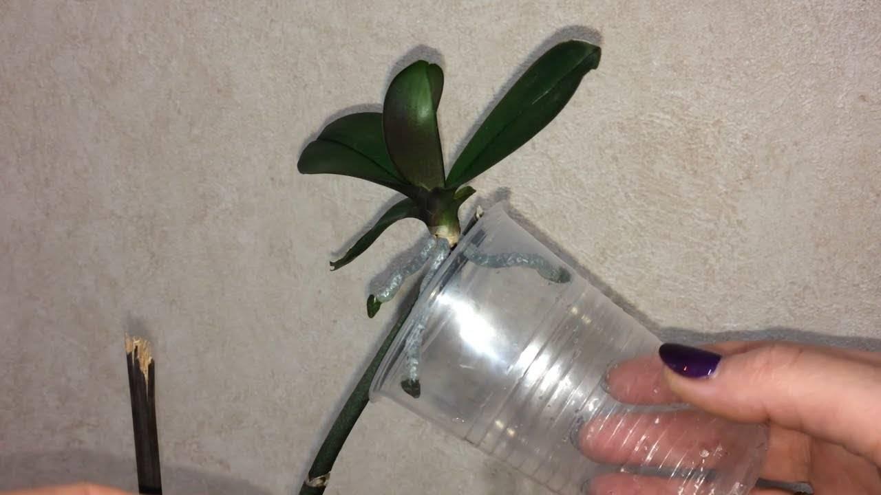 Нужно ли отделять детку у орхидеи фаленопсис. как правильно отсадить детку орхидеи от материнского растения