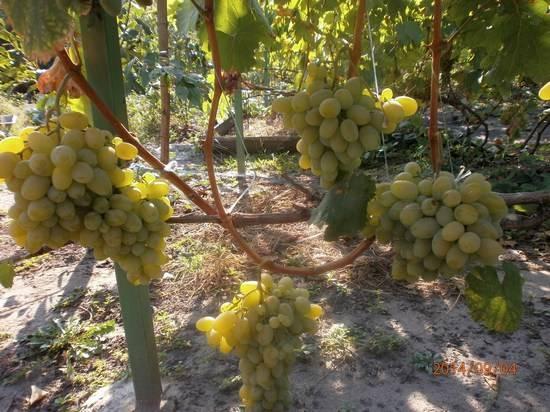 Выносливый и урожайный сорт винограда «подарок запорожью»