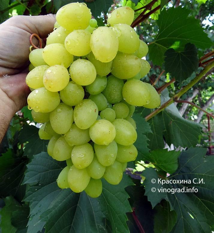 Виноград надежда азос: особенности сорта, выращивание в домашних условиях